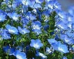 Лен (фото растения)