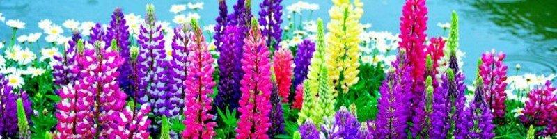 Люпин (фото цветов)