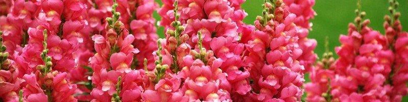 Львиный зев (фото цветов)