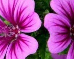 Мальва (фото цветов)