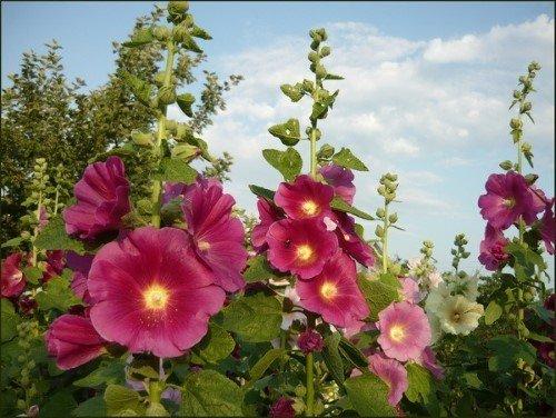 Мальва (фото цветов) - советы, секреты, рекомендации