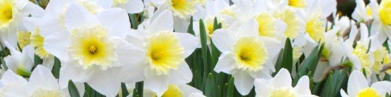 Нарцисс (фото цветов)