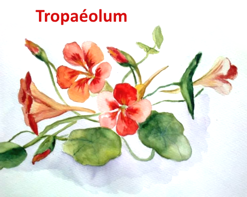 Tropaéolum