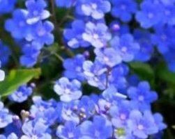 Незабудка (фото цветов)