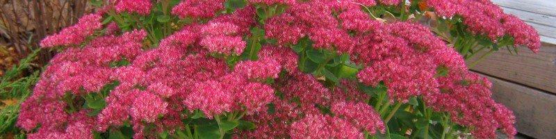 Очиток (фото растения)