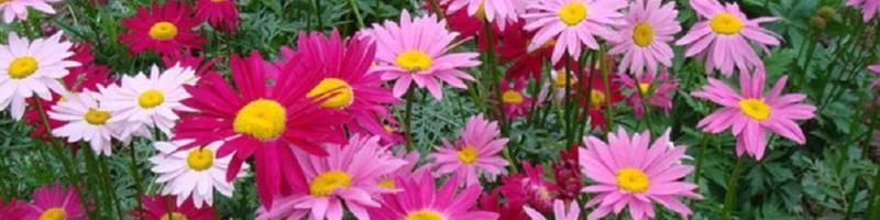 Пиретрум (фото цветов)