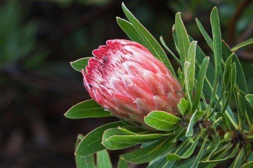 Protea macrocephala