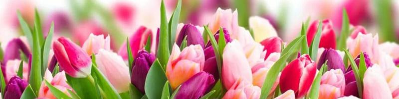 Тюльпан (фото цветов) - советы, секреты, рекомендации