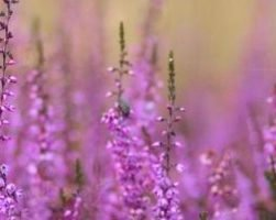 Вереск (фото растения)