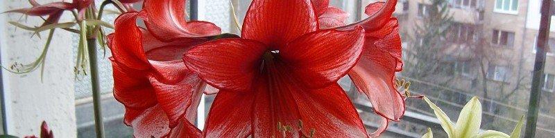 Амариллис (фото цветов)