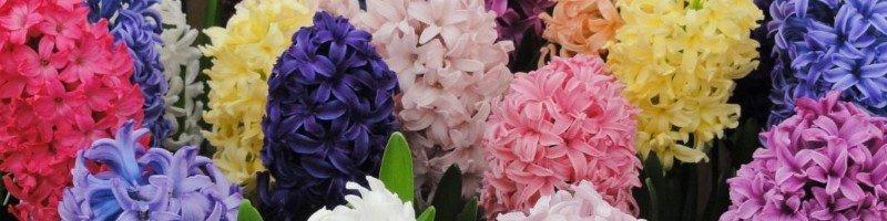 Гиацинт (фото цветов)