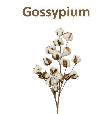Gossypium