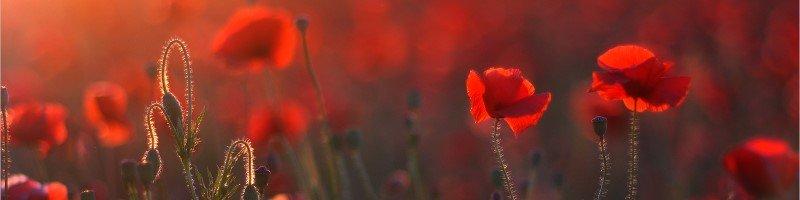 Мак (фото цветов)
