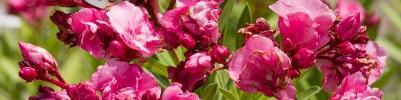 Олеандр цветущий