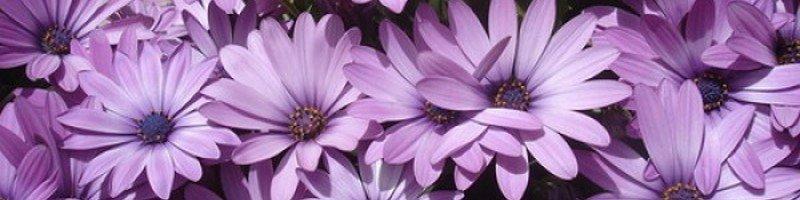 Остеосперум (фото цветов)