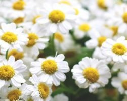 Ромашки (фото цветов)