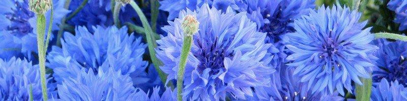 Василек (фото цветов)