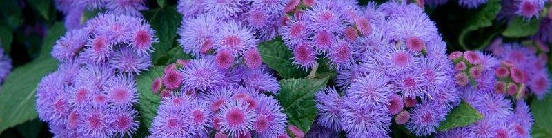 Агератум (фото цветов)