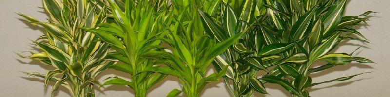 Бамбук - комнатное растение