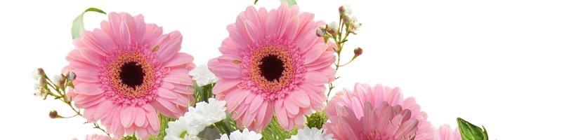 Гербера (фото цветов)