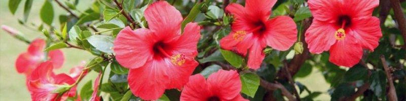 Китайская роза (фото растения)