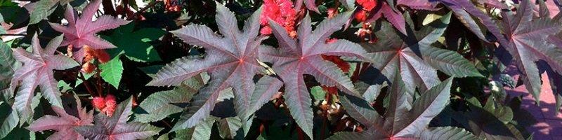 Клещевина (фото растения)