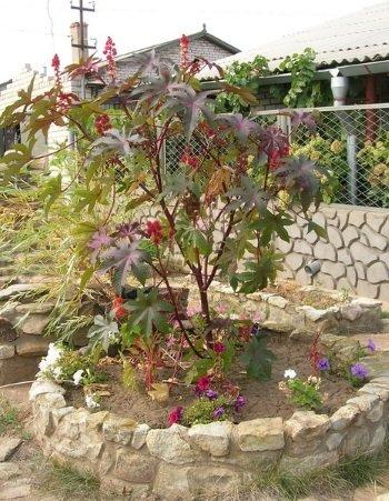 Клещевина в саду
