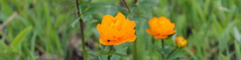 Огонек (фото цветов)
