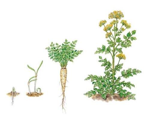 Развитие растения