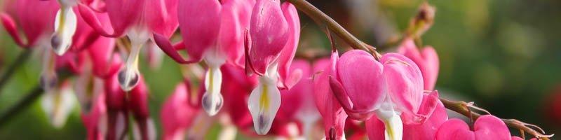 Разбитое сердце (фото цветов)