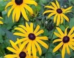 Рубекия (фото цветов)