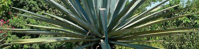 Агава (фото растения)