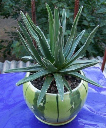 Растение дома