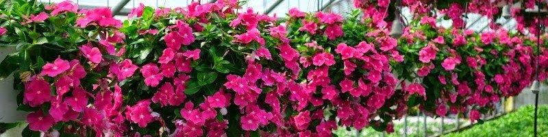 Катарантус (фото цветов)