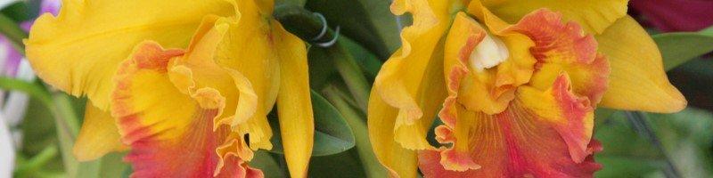 Каттлея (фото цветов)