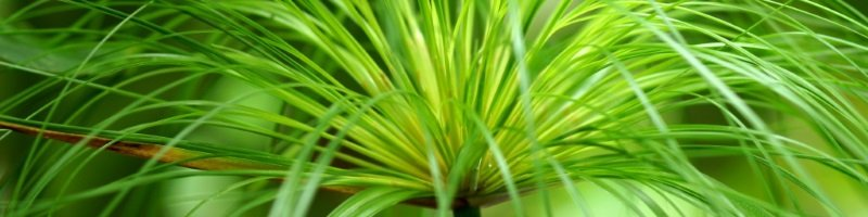 Папирус (фото растения)