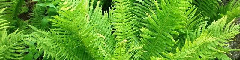 Папоротник (фото растения)