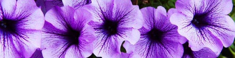 Петуния (фото цветов)
