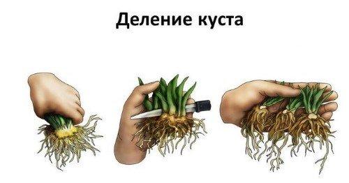 Деление растения