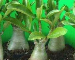 Адениум (фото растения)
