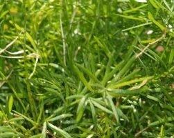 Аспарагус (фото растения)