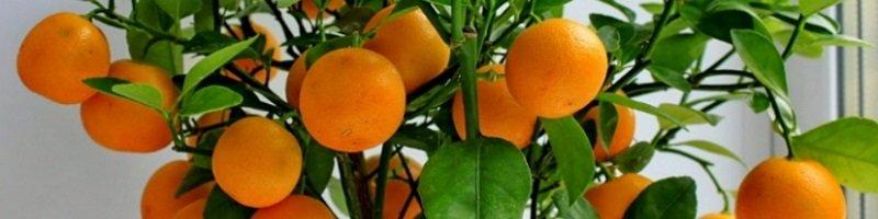 Цитрусовые растения (фото)