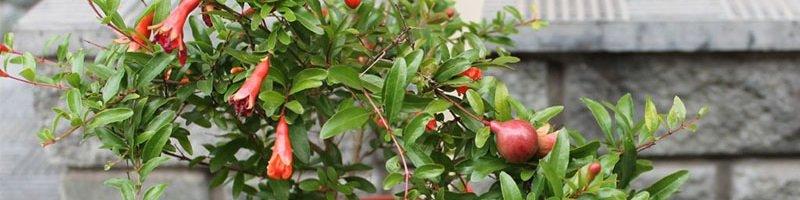Гранат (фото растения)