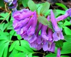 Хохлатка (фото цветов)