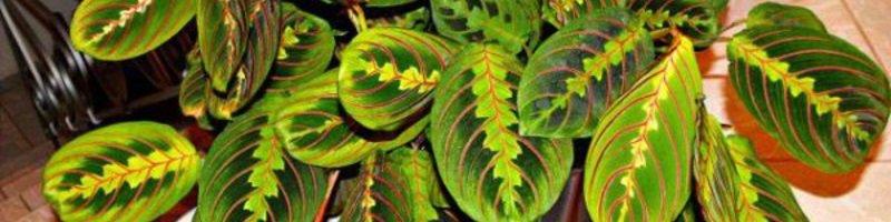 Маранта трехцветная (фото цветов)
