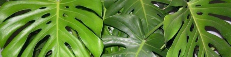 Родина растения монстеры