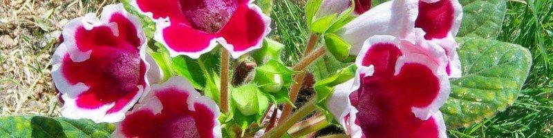 Глоксиния (фото цветов)