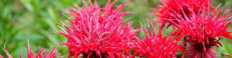 Червона рута (фото цветов)