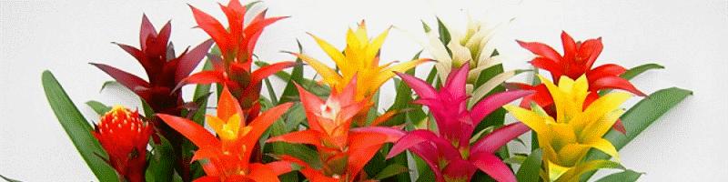 Бромелия (фото цветов)