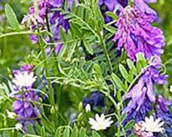 Вика (фото растения)